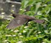 黑鶇〈雌〉:DSC_8710.JPG