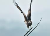 老鷹   Black kite :DSC_1415.JPG