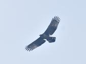 大冠鷲 Crested Serpent Eagle :DSC_1868.JPG