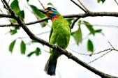 五色鳥  Muller's Barbet   :DSC_3655.JPG