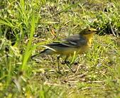 黃頭鶺鴒〈雌〉:DSC_9890.JPG