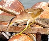 黃小鷺:DSC_4908.JPG
