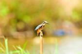 翠鳥  Common Kingfisher       :DSC_6012.JPG
