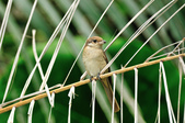 紅尾伯勞Brown Shrike  :DSC_6450.JPG