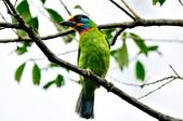 五色鳥  Muller's Barbet   :DSC_3659.JPG
