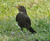 黑鶇〈雌〉:DSC_8735.JPG