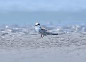 小燕鷗  Little Tern  :DSC_4338.JPG