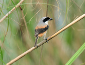 棕背伯勞 Black-headed Shrike  :DSC_2109.JPG