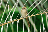 紅尾伯勞Brown Shrike  :DSC_6452.JPG