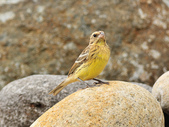 金鵐 Yellow-breasted Bunting  :DSC_7197.JPG