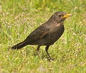 黑鶇〈雌〉:DSC_8924.JPG