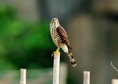 松雀鷹Besra sparrow hawk :DSC_2047.JPG