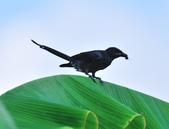 大卷尾Black Drongo  :DSC_3207.JPG