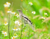 灰背椋鳥  Gray-backed Starling :DSC_6890.JPG