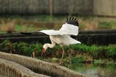 白鶴  Siberian Crane :DSC_0043.JPG