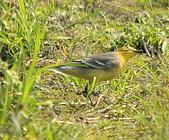 黃頭鶺鴒〈雌〉:DSC_9891.JPG