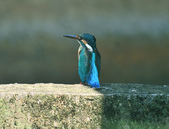 翠鳥  Common Kingfisher   :DSC_2366.JPG