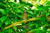 棕耳鵯Chestnut-eared Bulbul :DSC_7347.JPG