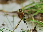 金翅雀  Oriental Greenfinch :DSC_0539.JPG