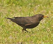 黑鶇〈雌〉:DSC_8926.JPG
