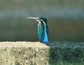 翠鳥  Common Kingfisher   :DSC_2367.JPG