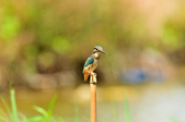 翠鳥  Common Kingfisher       :DSC_6019.JPG