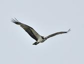 魚鷹 Osprey      :DSC_0445.JPG