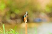 翠鳥  Common Kingfisher       :DSC_6021.JPG