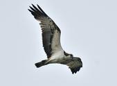 魚鷹 Osprey      :DSC_0456.JPG