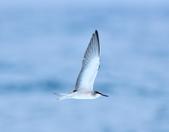 白眉燕鷗Bridled Tern :DSC_0384.JPG