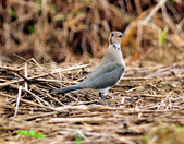 燕鴴 Large Indian Pratincole :DSC_2576.JPG