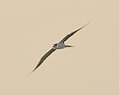 白眉燕鷗:DSC_6760.JPG