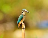 翠鳥  Common Kingfisher       :DSC_6000.JPG