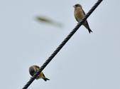 金翅雀  Oriental Greenfinch     :DSC_5341.JPG