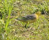 黃頭鶺鴒〈雌〉:DSC_9892.JPG