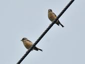 金翅雀  Oriental Greenfinch     :DSC_5346.JPG