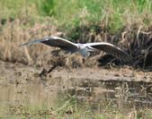 蒼鷺 Grey Heron     :DSC_5706.JPG