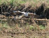 蒼鷺 Grey Heron     :DSC_5709.JPG