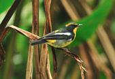 黃眉黃鶲Narcissus Flycatcher :DSC_0766.JPG