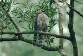 北雀鷹  Northern Sparrow Hawk :DSC_1457.JPG
