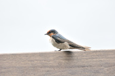 洋燕  Pacific Swallow   :DSC_7097.JPG