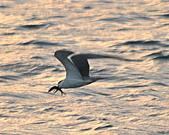 鳳頭燕鷗:DSC_7232.JPG