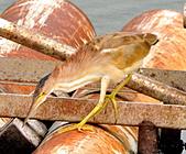 黃小鷺:DSC_4909.JPG