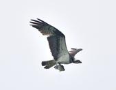 魚鷹 Osprey   :DSC_4307.JPG