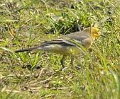 黃頭鶺鴒〈雌〉:DSC_9893.JPG