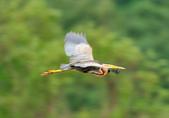 紫鷺     Purple Heron:DSC_0917.JPG