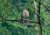 北雀鷹  Northern Sparrow Hawk :DSC_1449.JPG