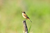 黑喉鴝Common Stonechat  :DSC_9422.JPG