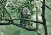 北雀鷹  Northern Sparrow Hawk :DSC_1459.JPG