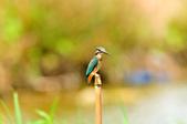 翠鳥  Common Kingfisher       :DSC_6001.JPG